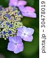 花 あじさい 紫陽花の写真 30478019