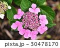 花 あじさい 紫陽花の写真 30478170