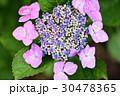 花 あじさい 紫陽花の写真 30478365