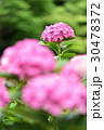 植物 花 あじさいの写真 30478372