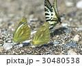 蝶 チョウ 蝴蝶の写真 30480538