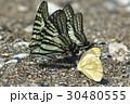 蝶 チョウ 蝴蝶の写真 30480555