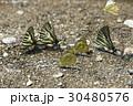 蝶 チョウ 蝴蝶の写真 30480576