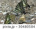 蝶 チョウ 蝴蝶の写真 30480584