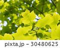 新緑のユリノキ 30480625