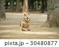 柴犬のおもしろおすわり 30480877