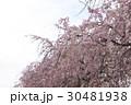枝垂れ桜 30481938