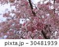 枝垂れ桜 30481939
