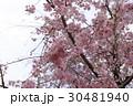 枝垂れ桜 30481940