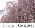 枝垂れ桜 30481941