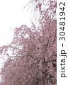 枝垂れ桜 30481942