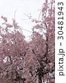 枝垂れ桜 30481943