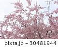 枝垂れ桜 30481944