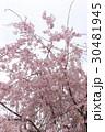 枝垂れ桜 30481945