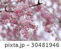 枝垂れ桜 30481946