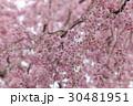 枝垂れ桜 30481951