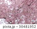 枝垂れ桜 30481952