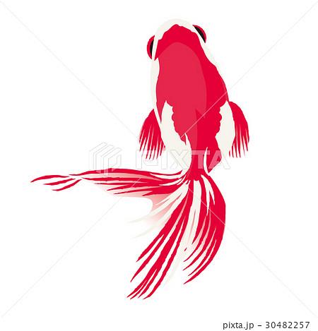 金魚 イラストのイラスト素材