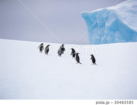 南極 動物 ジェンツーペンギン 30483585