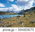 木 自然 チリのの写真 30483675