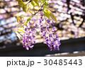藤の花 30485443