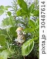 キッチンハーブの寄せ植え 30487614