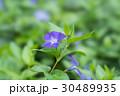 ツルキキョウ(蔓桔梗) 30489935