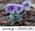 スミレ 花 シハイスミレの写真 30491361