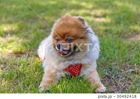 【小型犬】公園で遊ぶポメラニアン 30492418