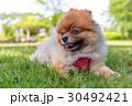 ポメラニアン ポメ 小型犬の写真 30492421
