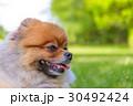 ポメラニアン ポメ 小型犬の写真 30492424