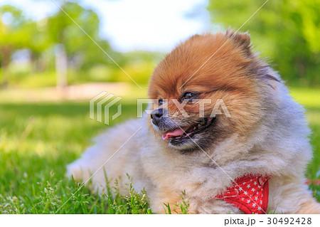 【小型犬】公園で遊ぶポメラニアン 30492428