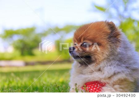 【小型犬】公園で遊ぶポメラニアン 30492430