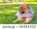 ポメラニアン ポメ 小型犬の写真 30492432