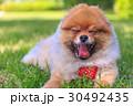 ポメラニアン ポメ 小型犬の写真 30492435