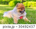 ポメラニアン ポメ 小型犬の写真 30492437