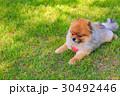 ポメラニアン ポメ 小型犬の写真 30492446