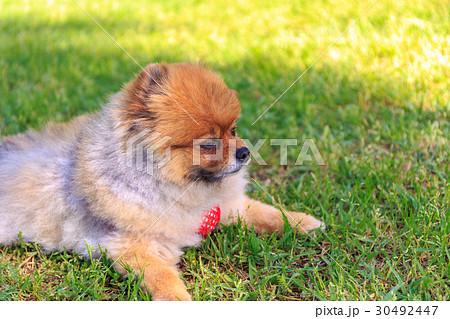 【小型犬】公園で遊ぶポメラニアン 30492447