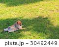 ポメラニアン ポメ 小型犬の写真 30492449