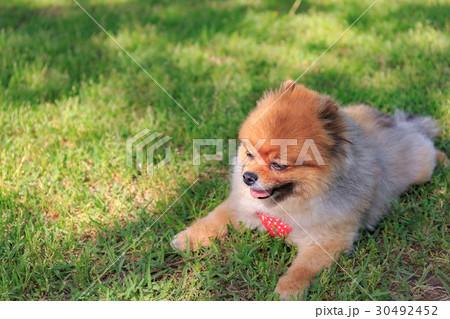【小型犬】公園で遊ぶポメラニアン 30492452