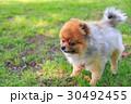 ポメラニアン ポメ 小型犬の写真 30492455