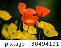 アイスランドポピー 花 ポピーの写真 30494191
