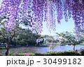 蓮華寺公園、藤まつり 30499182