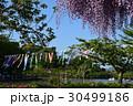 蓮華寺公園、藤まつり 30499186