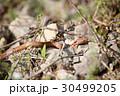 シマヘビ幼蛇 30499205