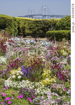 横浜港の見える丘公園の花壇とベイブリッジ 30500678