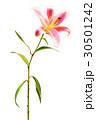 鮮豔細緻的手繪水彩畫插圖在白色背景:香水百合花 30501242