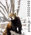 振り返るアライグマ(全身) 30502498