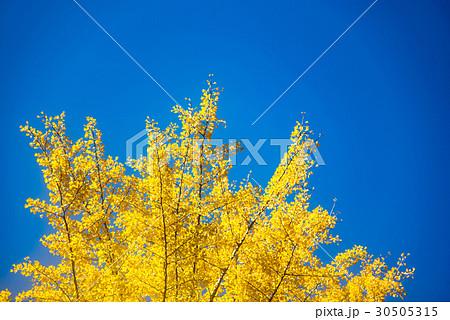 青空に映える黄色いイチョウの木 30505315