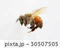 蜜蜂 蜂 西洋ミツバチの写真 30507505